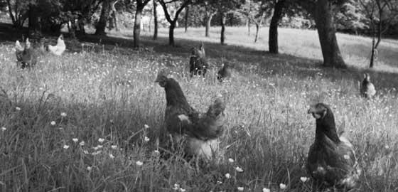 Organic-and-free-range-poultry-Bendele-Farm,-Melstead-Park-&-Moya-Valley